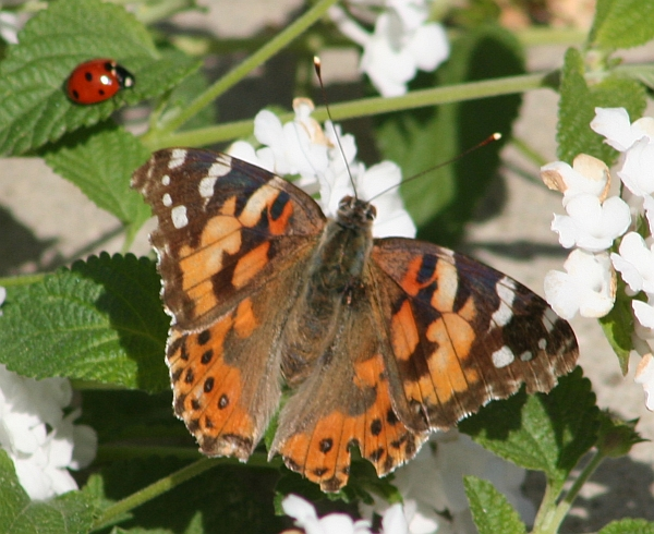 Painted Lady and Lady Beetle