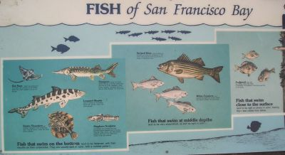 Fishes of SF Bay