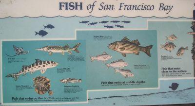 San francisco bay fish images for Sf bay fishing report