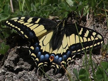 ... Anise Swallowtail