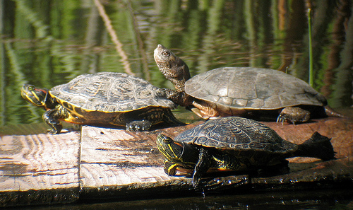 Western Pond Turtle and Red-eared Slider