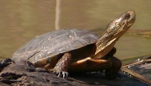 Reptiles of San Francisco Bay Area : sfbaywildlife.info