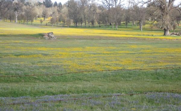 Wildflowers - San Antonio Valley Road