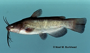 Fish of San Francisco Bay Area: sfbaywildlife info
