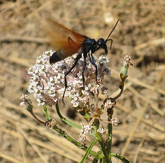 Insects of the San Francisco Bay Area : sfbaywildlife info